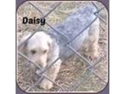 Adopt DAISY a White - with Tan, Yellow or Fawn Cockapoo / Mixed dog in Malvern