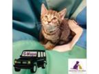 Adopt G-Wagon a Brown Tabby Domestic Shorthair (short coat) cat in Eighty Four