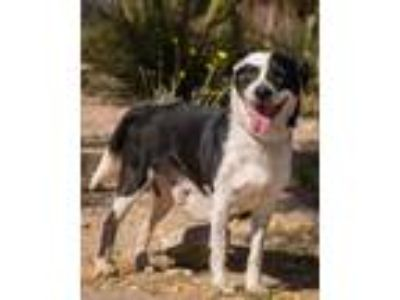 Adopt Champ a Black Border Collie / Mixed dog in Palm Springs, CA (24533289)