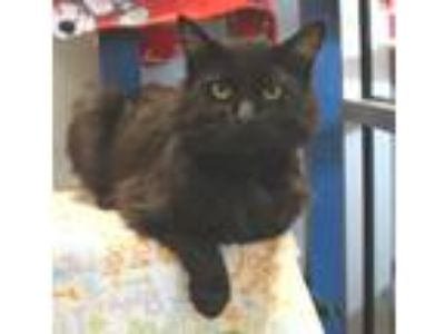 Adopt Liberace a All Black Domestic Longhair / Mixed cat in Wichita