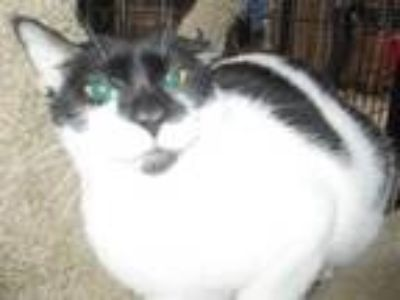Adopt Klay a Domestic Short Hair