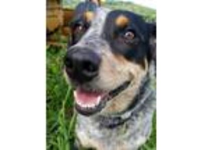 Adopt Lucy a Gray/Silver/Salt & Pepper - with Black Australian Cattle Dog /