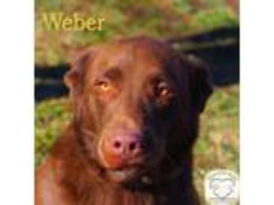 Adopt Weber a Hound (Unknown Type) / Mixed dog in Washburn, MO (23992949)