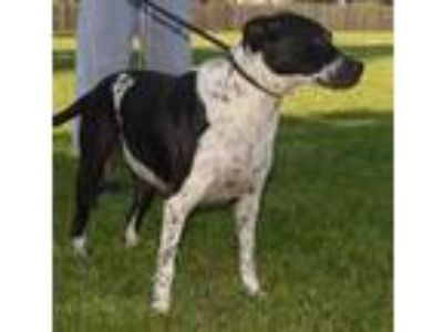 Adopt FRECKLES a Black - with White Labrador Retriever / American Pit Bull