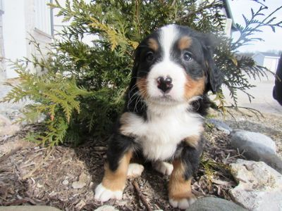 Bernese Mountain Dog PUPPY FOR SALE ADN-70134 - Bernese Mountain Dog Puppies