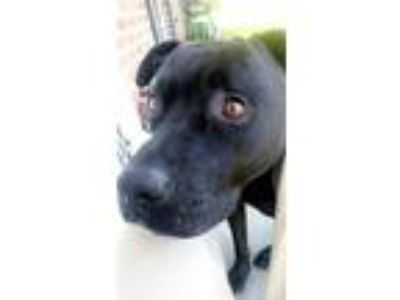 Adopt Baloo a Black - with White Labrador Retriever / American Pit Bull Terrier