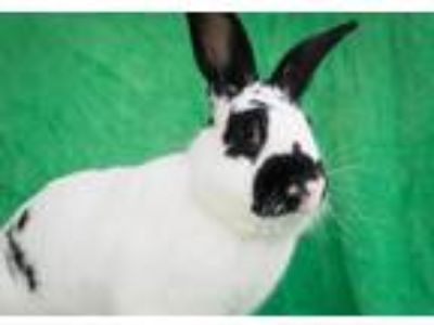 Adopt Goose a Other/Unknown / Mixed (short coat) rabbit in Baton Rouge