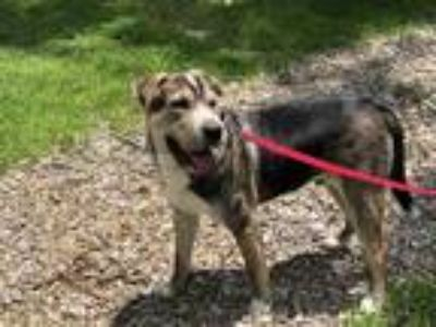 Adopt WAYLON a Tricolor (Tan/Brown & Black & White) Shar Pei / Mixed dog in