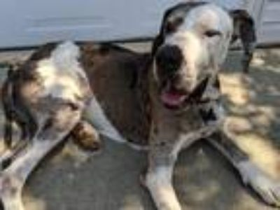 Adopt Gustavo (Gus) a Great Dane