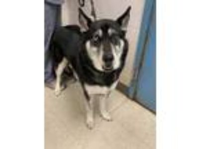 Adopt Maddie a Black Husky / Mixed dog in Gulfport, MS (25825803)