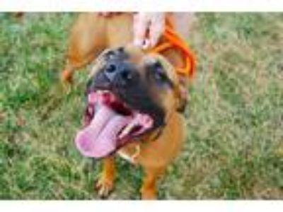 Adopt KANE a Tan/Yellow/Fawn - with White American Pit Bull Terrier / Mixed dog