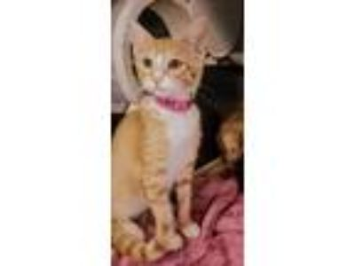 Adopt Sunflower a Orange or Red Domestic Shorthair / Domestic Shorthair / Mixed