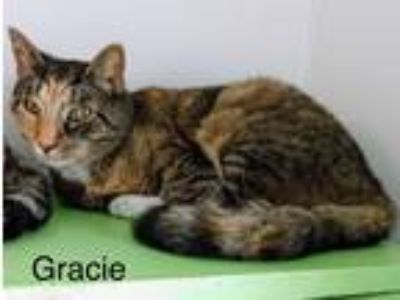 Adopt Gracie a Calico or Dilute Calico Domestic Shorthair (short coat) cat in