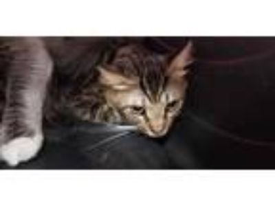 Adopt RAMBO a Brown Tabby Domestic Shorthair / Mixed (short coat) cat in Fort