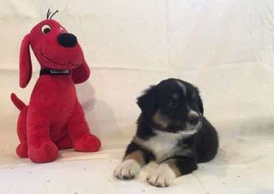 English Shepherd PUPPY FOR SALE ADN-97995 - Registered English Shepherd Puppies