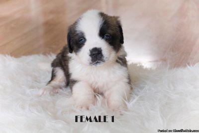 Adorable Saint Bernard St Bernard Puppies for Sale