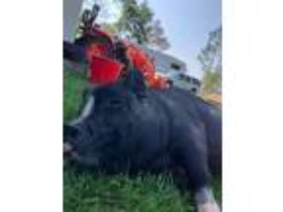 Adopt Mason a Pig (Potbellied) farm-type animal in Southport, FL (25932601)