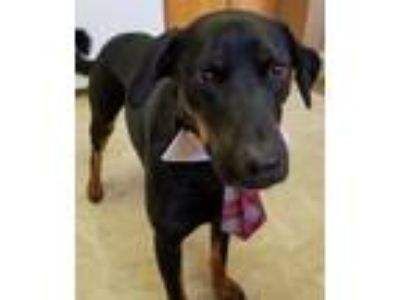 Adopt Prince a Black - with Brown, Red, Golden, Orange or Chestnut Rottweiler /