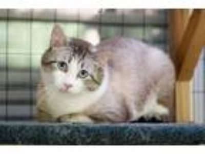 Adopt Magers a Siamese, Domestic Short Hair