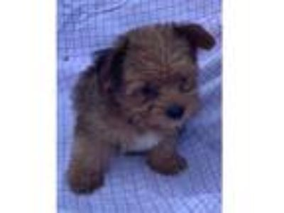 Adopt Teddy a Yorkshire Terrier, Poodle