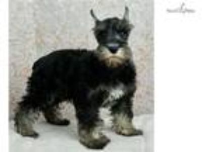 Mattie AKC Miniature Schnauzer Puppy Ready to go!