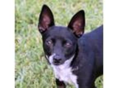 Adopt Lotus a Black Rat Terrier / Mixed dog in Loxahatchee, FL (24945160)