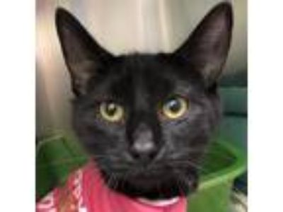 Adopt Brenner a All Black Domestic Shorthair / Domestic Shorthair / Mixed cat in