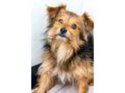 Adopt OAKLEY a Terrier (Unknown Type, Small) / Mixed dog in Redwood City