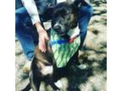 Adopt Cece a Black - with White American Pit Bull Terrier / Border Collie /
