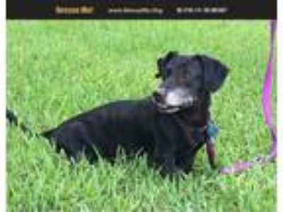 Adopt bongo a Black - with White Dachshund / Mixed dog in Homestead