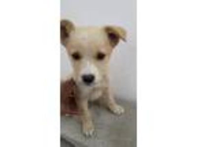 Adopt Dory a Tan/Yellow/Fawn Labrador Retriever / Mixed dog in BONITA
