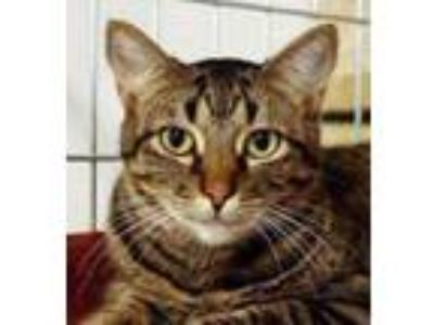 Adopt Fergie a Domestic Short Hair