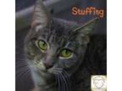 Adopt Stuffing a Domestic Short Hair