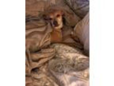 Adopt Harley a Tan/Yellow/Fawn Beagle / Corgi / Mixed dog in Magnolia