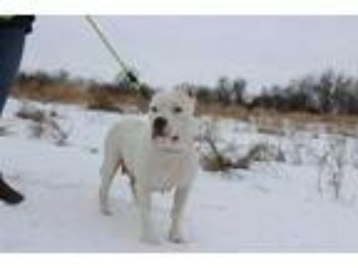 Adopt Alina a White American Pit Bull Terrier / Mixed dog in Elkhorn