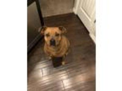 Adopt Leila a Tan/Yellow/Fawn - with Black Labrador Retriever / Mixed dog in