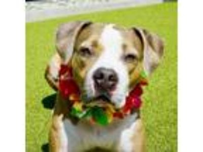 Adopt Oakley a Brown/Chocolate Staffordshire Bull Terrier dog in Culver City