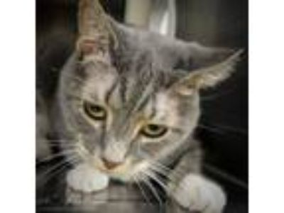 "Adopt Stray Cat ""Muffin"" a Domestic Short Hair"