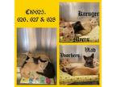Adopt Cat Cage 18 a Domestic Shorthair / Mixed cat in Greenville, TX (25937373)