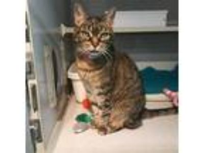 Adopt PEARL a Brown Tabby Domestic Shorthair / Mixed (short coat) cat in