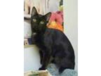 Adopt Victoria a All Black Domestic Shorthair / Domestic Shorthair / Mixed cat