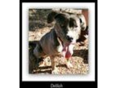 Adopt Delilah a Gray/Silver/Salt & Pepper - with White American Pit Bull Terrier