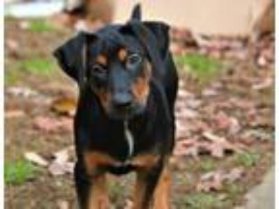 Adopt Earl a Hound (Unknown Type) / Rottweiler / Mixed dog in Medford