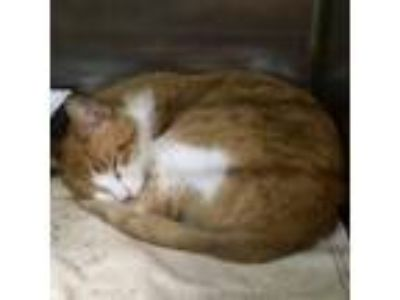 Adopt Charlie Brown a Domestic Short Hair