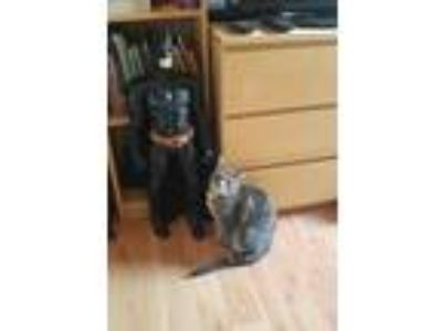 Adopt Christian a Gray, Blue or Silver Tabby American Shorthair / Mixed cat in