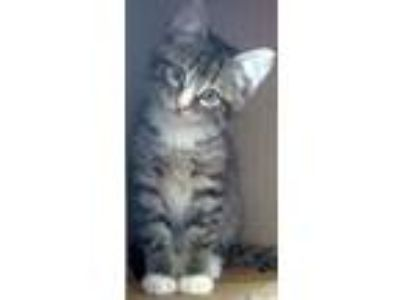 Adopt Wood Sprite a Gray, Blue or Silver Tabby Domestic Shorthair / Mixed (short