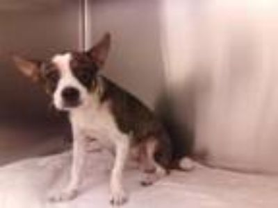 Adopt LUKE a Beagle, Rat Terrier