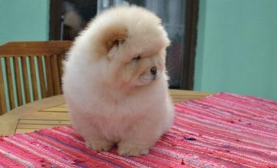Chow Chow Pup for Sale