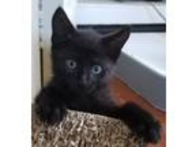 Adopt Sooty Sprite a Domestic Short Hair