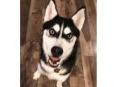 Adopt Max a Black - with White Husky dog in Strongsville, OH (25302097)